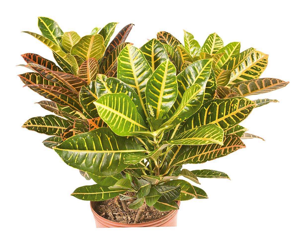 Plantas jard n tucumano for Estrellitas de jardin planta